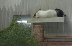 Panda che dorme a Ueno